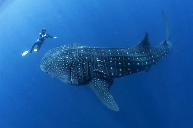 belize diving with whale sharks